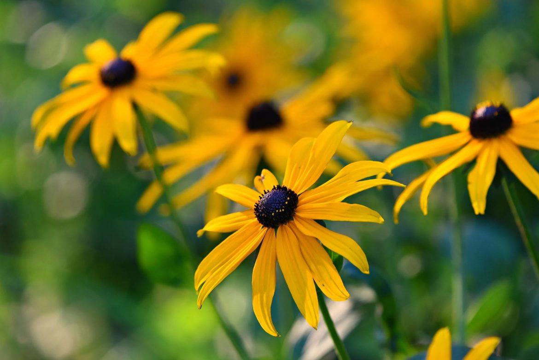Flores De Otono Rudbeckia