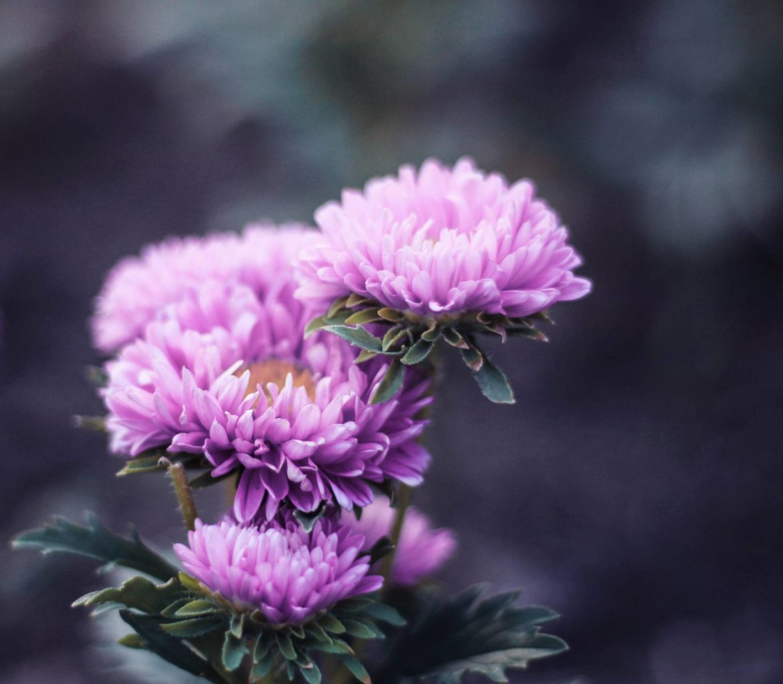 Flores De Temporada En Otono Dalia Flor Mexicana